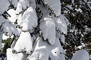 180px-Tree_covered_with_snow