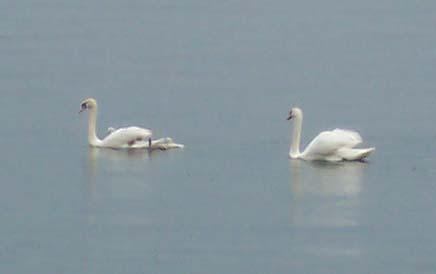 Swansswimming