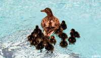 Ducklings in pool