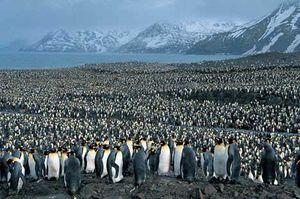 King_penguin_breeding_1sfw